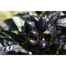 Chilli Black Pearl Seed Packet Organically Certified