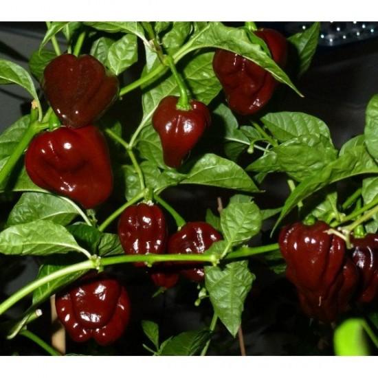 Chilli - Chocolate Habanero Organically Certified