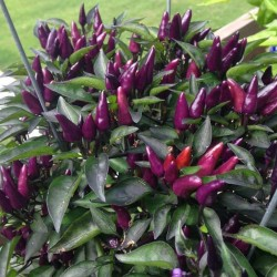 Chilli Explosive Ember Seed Packet Organically Certified