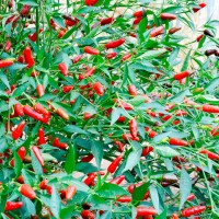 Chilli Hot Thai Seed Birds Eye Packet Organically Certified PAST BEST BY SOW DATE