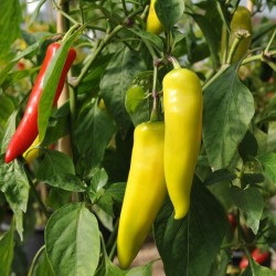 Chilli Hungarian Hot Wax Seed Packet PAST BEST BY SOW DATE