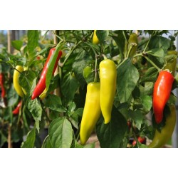 Chilli Hungarian Hot Wax Seed Packet