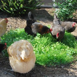 Chook Forage Mix Seed Spring / Summer Variety Organically Certified - NOT TAS or WA Ozfarmer
