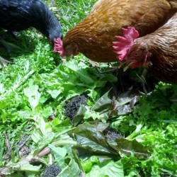 Bulk Chook Forage Mix Seed Spring / Summer Variety Organically Certified