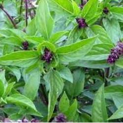 Basil Cinnamon Seed Organically Certified