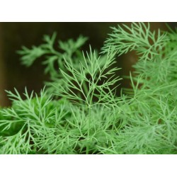 Dill Seed Organically Certified