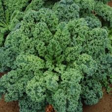 Kale Blue Curled Dwarf Seed Packet