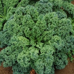 Kale Blue Curled Dwarf Seed Packet