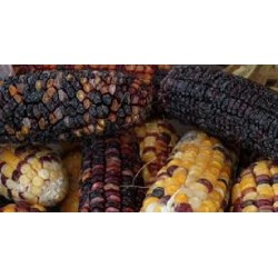 Corn Maize Multi Coloured Aztec Seed Packet Organically Certified