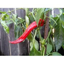 Peperone Capsicum Organically Grown Seed