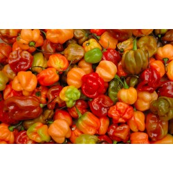 Chilli - Scotch Bonnet Organically Certified