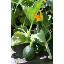 Squash Gem Seed Packet Organically Certified