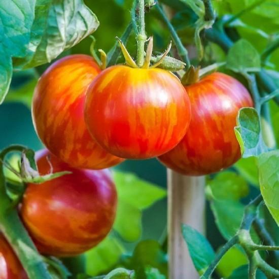 Tomato Tigerella - Organic Seed Packet